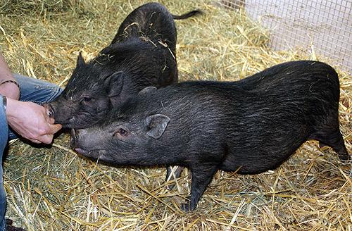 Minischweine auf der Jugendfarm