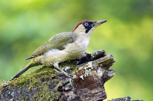 Gruenspecht Vogel des Jahres 2014