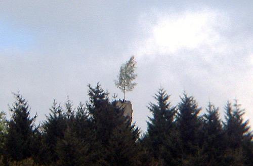 Maibaum Katzenbuckel