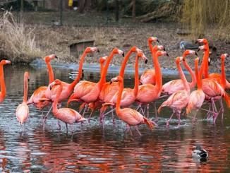 Flamingo-ZooHD-2015_02_17-7444-kl.jpg