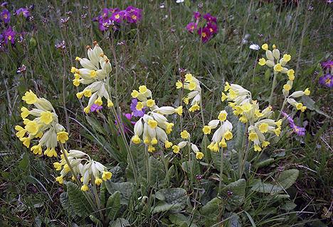 wpid-468Schluesselblume-von-Kurt-Schnoerr-2011-04-21-11-00.jpg